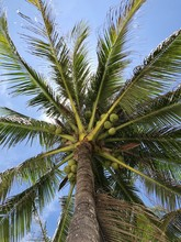 Coconut Palm Tree On Backgroun...