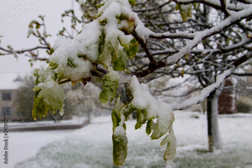 Chestnut tree branch with fresh foliage covered with white snow
