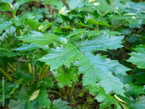 Canvas Print Acanthus mollis - Grande feuille large d'acanthe à feuilles molles de couleur ve