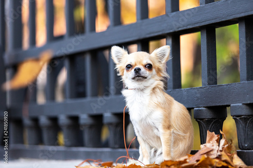 Beautiful cream chihuahua walks in big city Wallpaper Mural