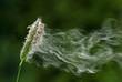 Leinwandbild Motiv Abfliegende Graspollen