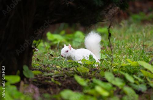 Fotografie, Obraz Albino Gray Squirrel, Eastbourne, Sussex, England