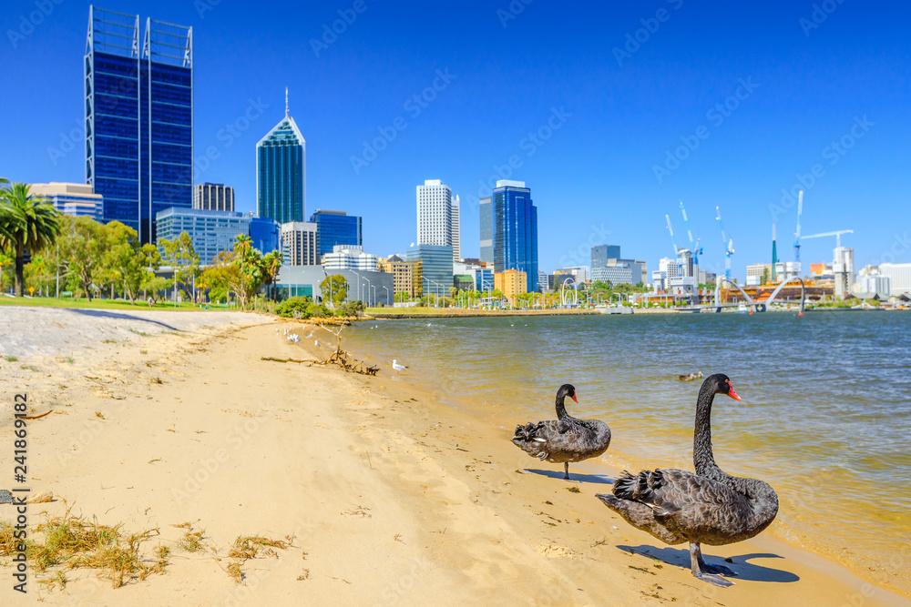 Couple of Black Swans on the Swan River in Perth Bay. In the background Perth Downtown with its modern skyscrapers, Western Australia. Summer season in a beautiful day.
