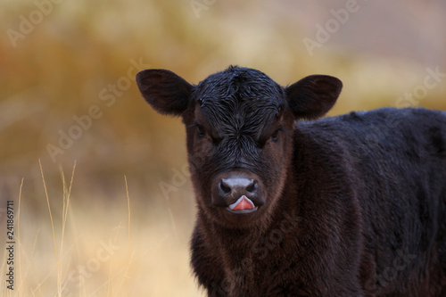 Young Black Angus Calf sticking out tongue Canvas Print