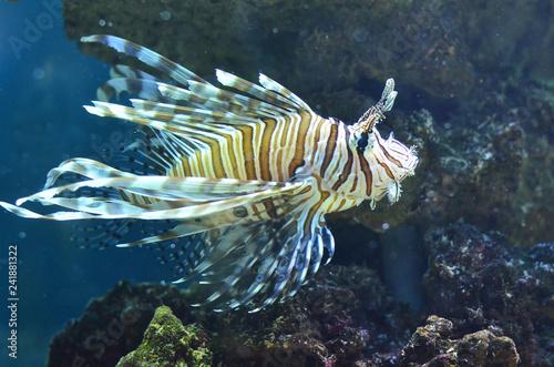 Рыба Крылатка.