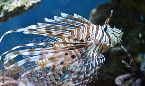 Рыба Крылатка плывёт под водой.