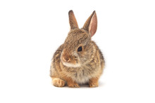 Cute Baby Cottontail Rabbit Is...