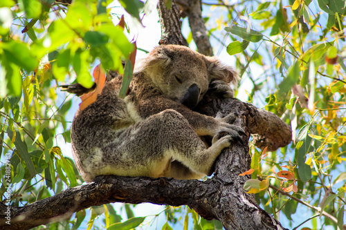 Canvas Prints Koala Sleeping Australian koala high up in a tree during spring time as spotted during a hike on Magnetic Island (Townsville, Queensland, Australia)