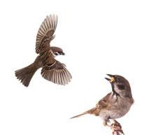Sparrow Flies