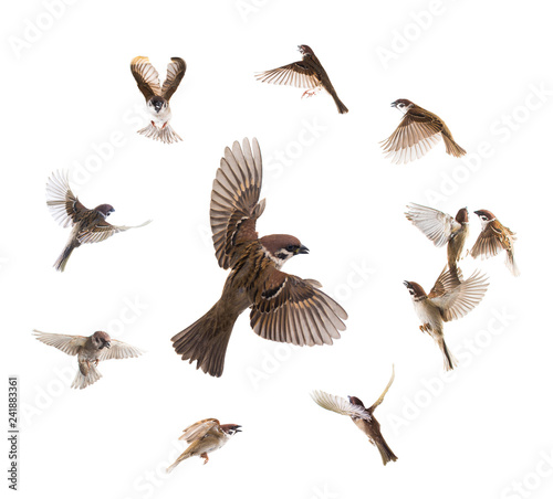 collage sparrows flies isolated Canvas Print