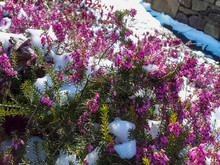 Pink Heather-bells (Erica Cinerea) Covered With Snow.