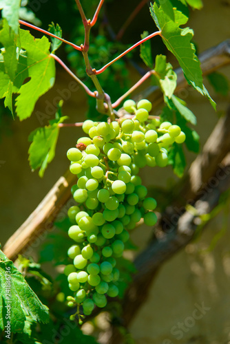 Bunch of grapes  Green leaves and vine grapes trudge along