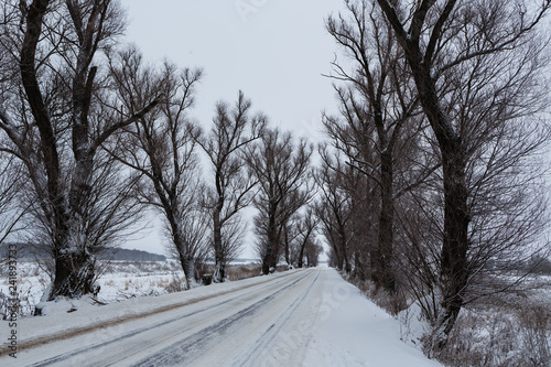 Fotografia  Winter view of the old elms and the road