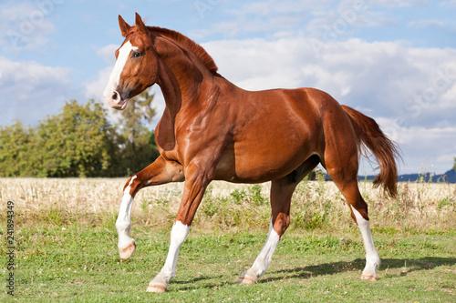 Fototapeta Nice sorrel horse running on the pasture in summer obraz