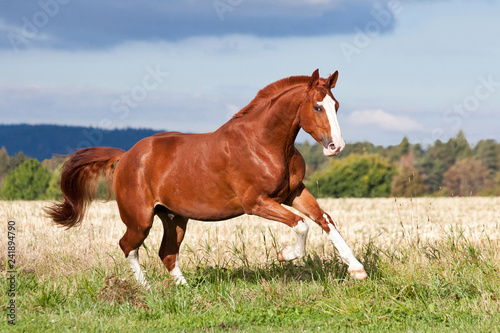 Nice sorrel horse running on the pasture in summer Canvas Print