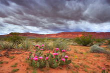 Prickly Pear Cactus Blooms In The Springtime Desert Of Southern Utah, Nearby St George