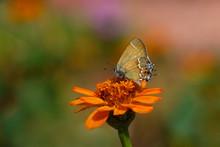 Juniper Hairstreak Butterfly O...