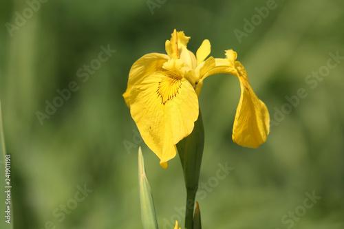 Yellow flower of Iris pseudacorus on green background