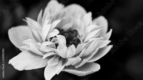 Fototapety, obrazy: Анемона крупным планом. Черно-белая фотография.