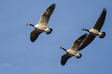 Three Canada Geese Flying In A...