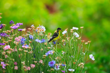 Lesser Goldfinch Eats Seeds From Bachelor's Buttons In A Utah Garden
