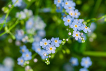 Macro Of Tiny Blue Flowers  Fo...