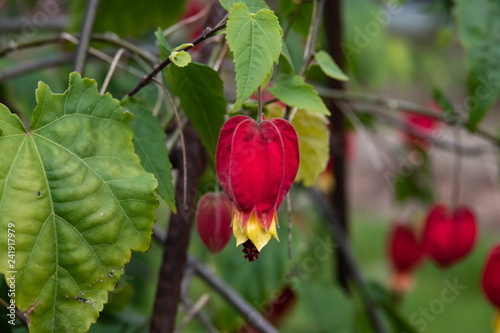 Trailing Abutilon Flowers In Bloom In Winter Buy This Stock Photo