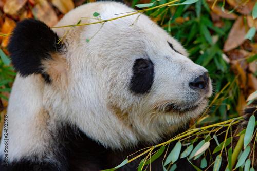 Valokuva  Close-Up of a Panda at the National Zoo
