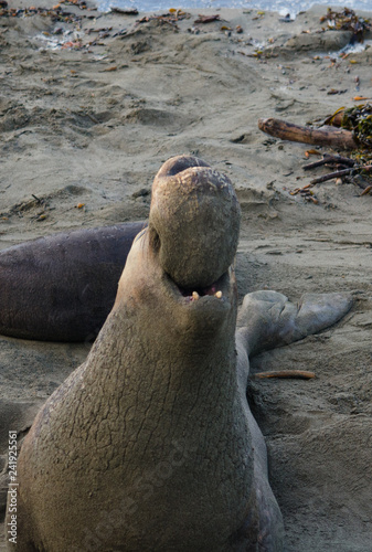Photo  elephant seal