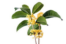Osmanthus Fragrans On White Background