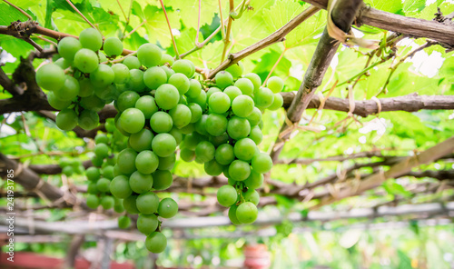 grape green fruit vineyard and sunshine