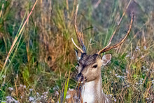Portrait Of Young Male Chital ...