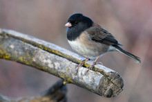 Male Dark-eyed Junco On A Branch
