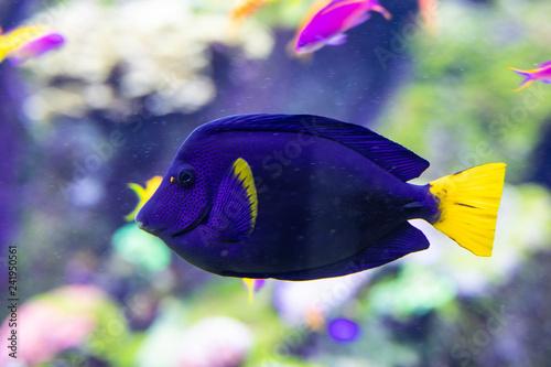 Fotografie, Tablou  Fish surgeon reflection floating in the aquarium