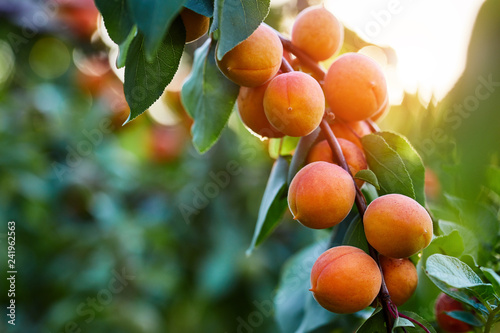 A bunch of ripe apricots branch in sunlight - 241962563