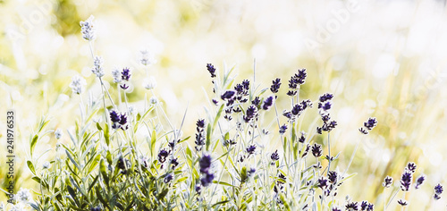 Blossoming Lavender flowers on sunny background