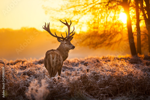 Wall Murals Deer Red Deer in Morning Sun