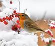 canvas print picture - Rotkehlchen im Schnee