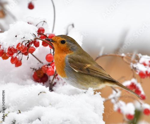 Fotografia Rotkehlchen im Schnee