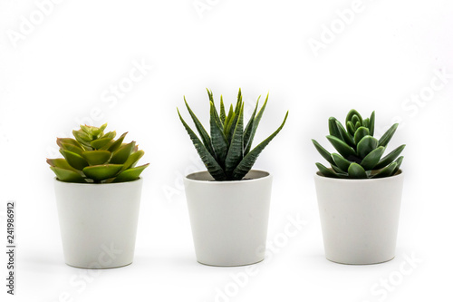 Carta da parati Natural green succulents cactus, Haworthia attenuata in white flowerpot isolated