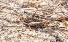 Grey Grasshopper On Sand