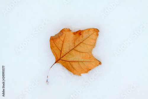 Yellow leaves in the snow