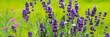 Leinwandbild Motiv Blooming lavender flowers on green grass background on a sunny day. Web banner.