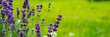 canvas print picture - Blooming lavender flowers on green grass background on a sunny day. Web banner.