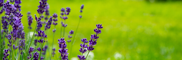 Panel Szklany Nowoczesny Blooming lavender flowers on green grass background on a sunny day. Web banner.