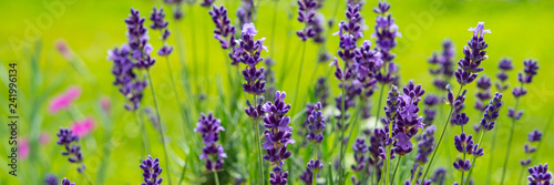 Fototapeta Blooming lavender flowers on green grass background on a sunny day. Web banner. obraz