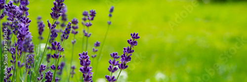 Stickers pour porte Lavande Blooming lavender flowers on green grass background on a sunny day. Web banner.