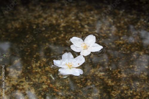 Fotografie, Obraz  a Sakura fell in moat at Nanzen ji temple