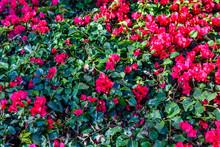 Blossoming Bougainvillea Plant...