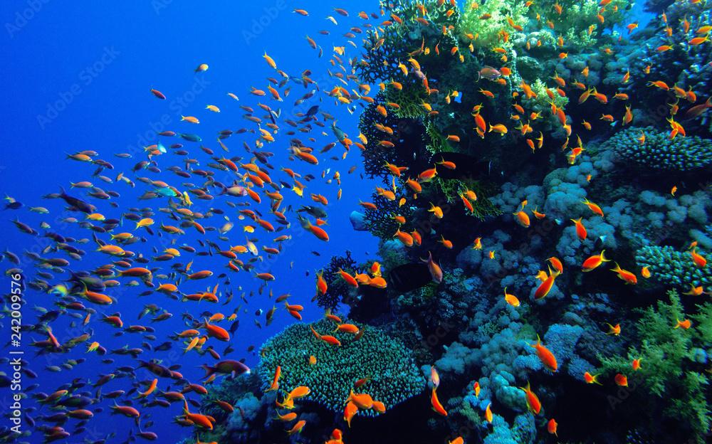 Fototapeta Coral reef Red Sea.